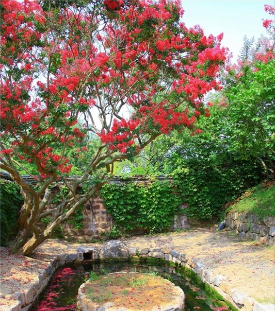 배롱나무1.png