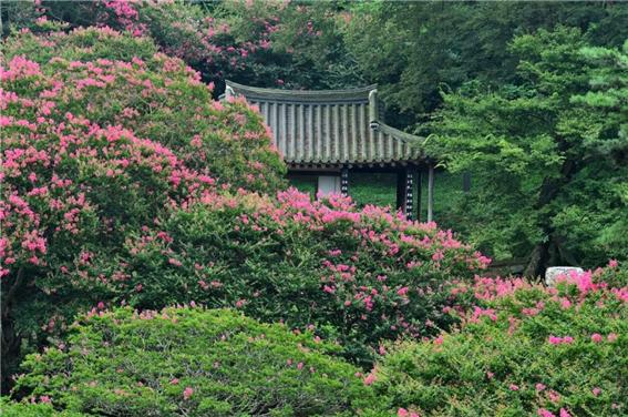 배롱나무2.png